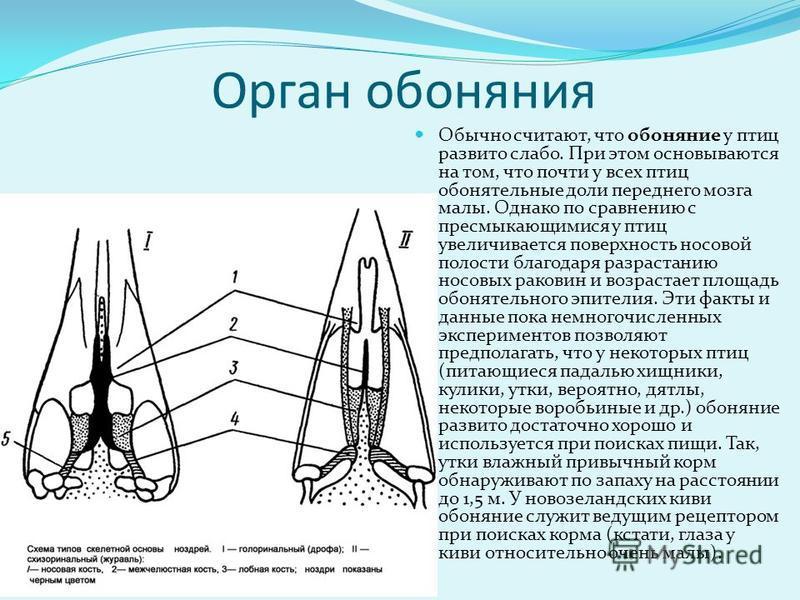 Основным звуко производящим органом птиц служит нижняя гортань; трахея резонирует (усиливает) звуки, а верхняя гортань, возможно, их несколько модифицирует. Некоторые птицы способны издавать так называемые инструментальные звуки: щелканье клювом, сви