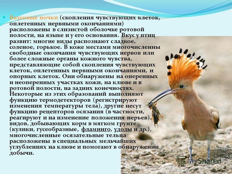 Орган обоняния Обычно считают, что обоняние у птиц развито слабо. При этом основываются на том, что почти у всех птиц обонятельные доли переднего мозга малы. Однако по сравнению с пресмыкающимися у птиц увеличивается поверхность носовой полости благо