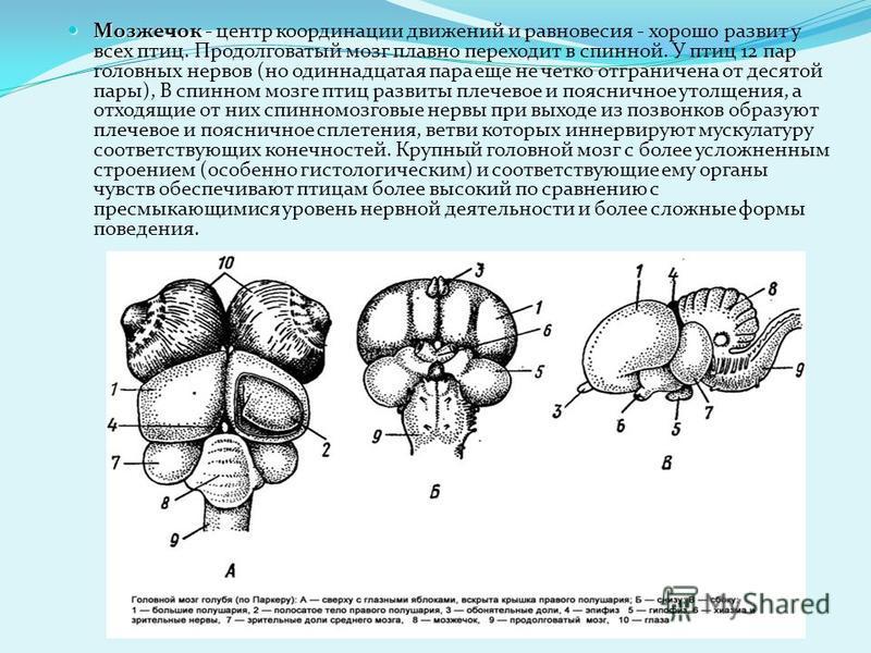 Обонятельные доли малы и тесно примыкают к большим полушариям. На спинной поверхности промежуточного мозга, прикрытого сверху полушариями, лежит слабо развитый эпифиз, а на дне - позади хиазмы зрительного нерва - крупный гипофиз. Крупные зрительные д