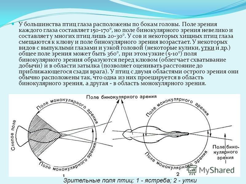 Аккомодация (наводка глаза на резкость) осуществляется изменением формы хрусталика и его одновременным перемещением, а также некоторым изменением кривизны роговицы. В области слепого пятна (места вхождения зрительного нерва) расположен гребень - бога