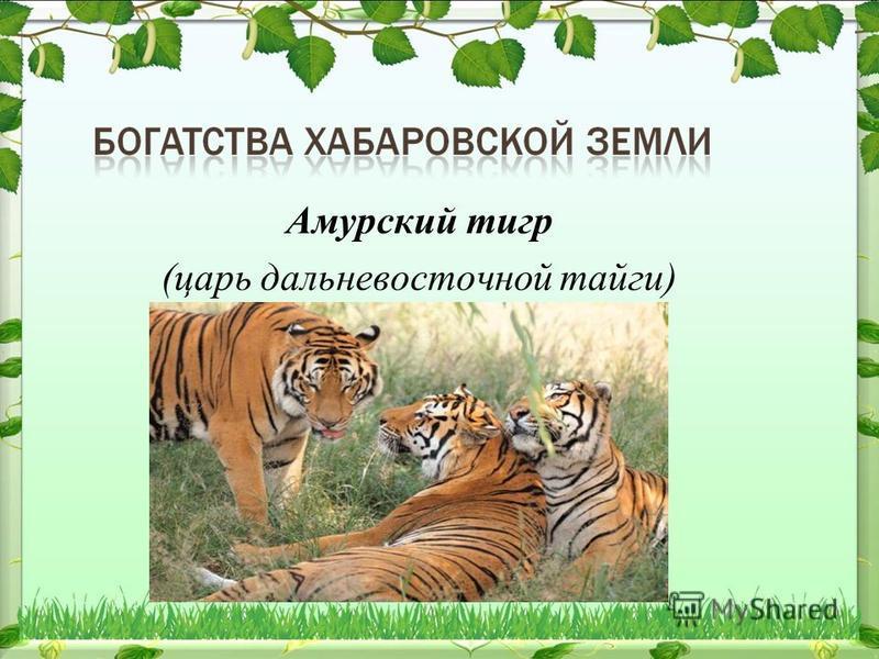 Амурский тигр (царь дальневосточной тайги)