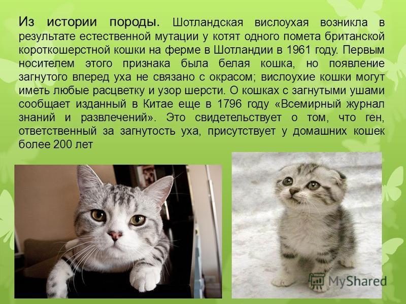 Чем кормить британскую вислоухую кошку в домашних  773