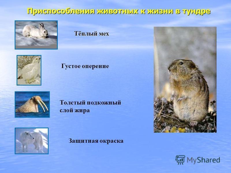 Приспособления животных к жизни в тундре Тёплый мех Густое оперение Защитная окраска Толстый подкожный слой жира
