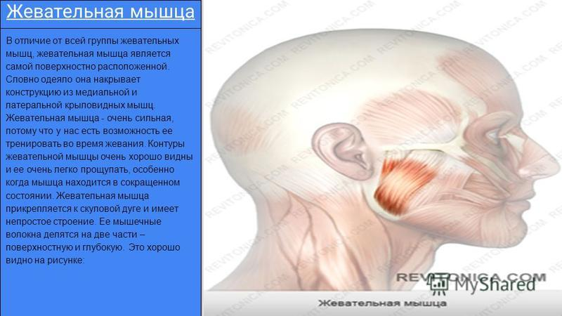 Жевательная мышца В отличие от всей группы жевательных мышц, жевательная мышца является самой поверхностно расположенной. Словно одеяло она накрывает конструкцию из медиальной и латеральной крыловидных мышц. Жевательная мышца - очень сильная, потому