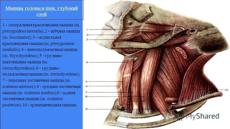 1 - латеральная крыловидная мышца (m. pterygoideus lateralis); 2 - щёчная мышца (m. buccinator); 3 - медиальная крыловидная мышца (m. pterygoideus medialis); 4 - щитоподъязычная мышца (m. thyrohyoideus); 5 - грудино- щитовидная мышца (m. sternothyroi