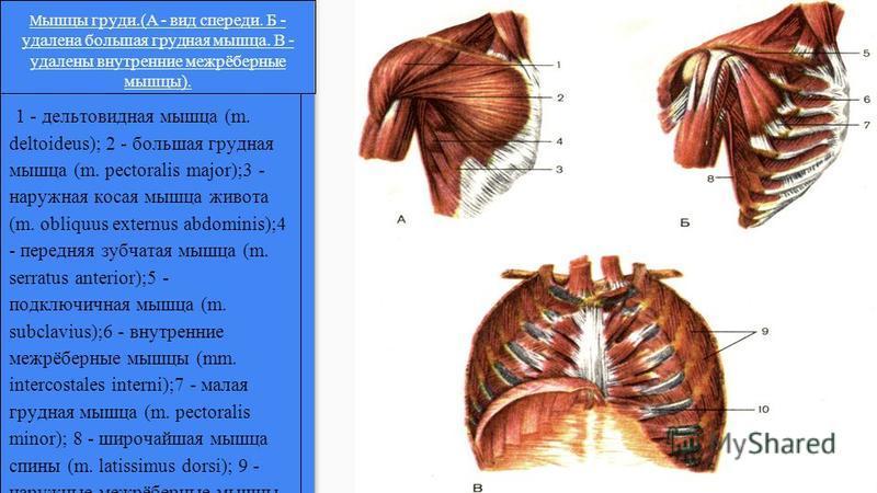 1 - дельтовидная мышца (m. deltoideus); 2 - большая грудная мышца (m. pectoralis major);3 - наружная косая мышца живота (m. obliquus externus abdominis);4 - передняя зубчатая мышца (m. serratus anterior);5 - подключичная мышца (m. subclavius);6 - вну