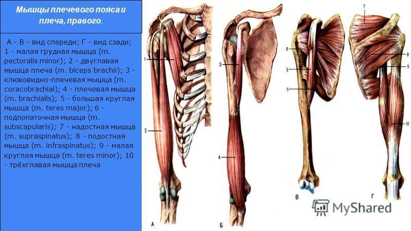 А - В - вид спереди; Г - вид сзади; 1 - малая грудная мышца (m. pectoralis minor); 2 - двуглавая мышца плеча (m. biceps brachii); 3 - клювовидно-плечевая мышца (m. coracobrachial); 4 - плечевая мышца (m. brachialis); 5 - большая круглая мышца (m. ter