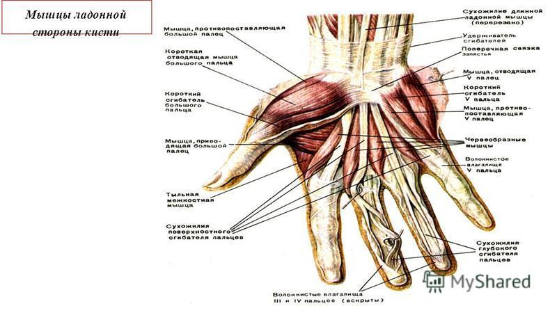 Мышцы ладонной стороны кисти