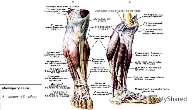 Мышцы голени: А - спереди; Б - сбоку