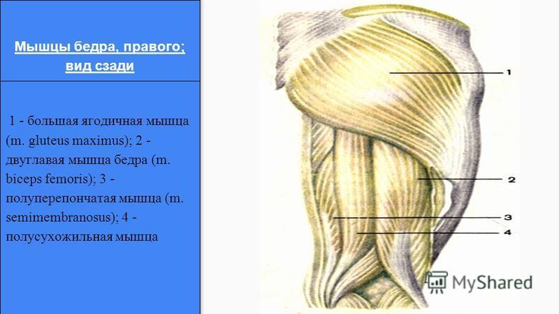 1 - большая ягодичная мышца (m. gluteus maximus); 2 - двуглавая мышца бедра (m. biceps femoris); 3 - полуперепончатая мышца (m. semimembranosus); 4 - полусухожильная мышца Мышцы бедра, правого; вид сзади