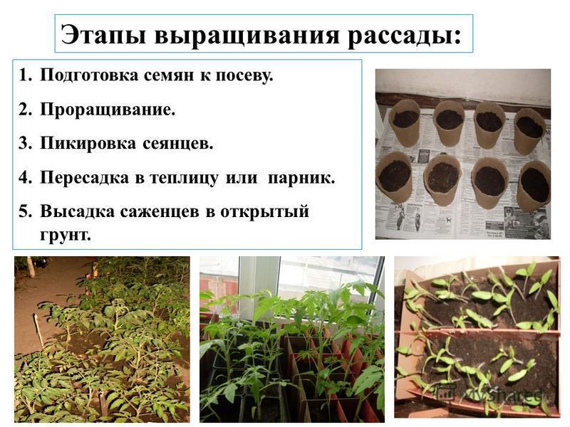 Этапы выращивания рассады: 1. Подготовка семян к посеву. 2.Проращивание. 3. Пикировка сеянцев. 4. Пересадка в теплицу или парник. 5. Высадка саженцев в открытый грунт.