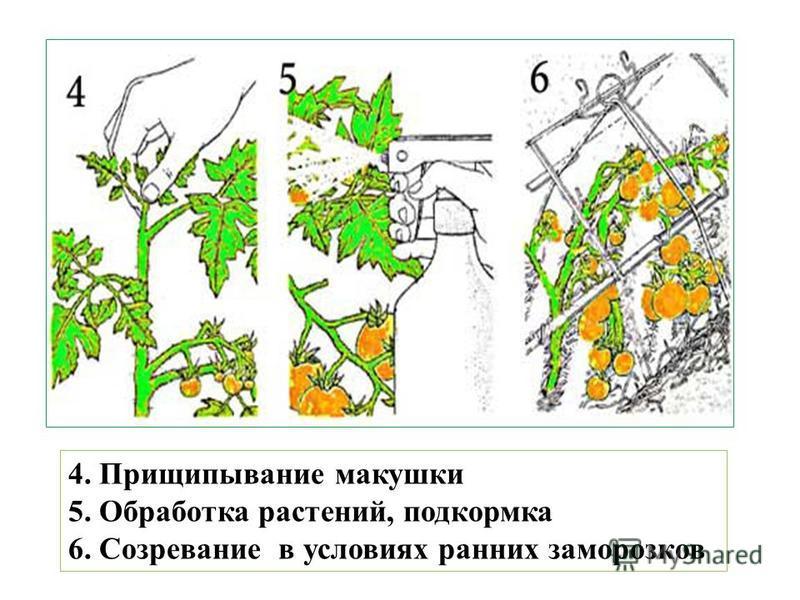 4. Прищипывание макушки 5. Обработка растений, подкормка 6. Созревание в условиях ранних заморозков