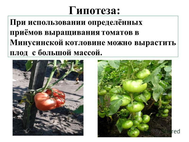 Гипотеза: При использовании определённых приёмов выращивания томатов в Минусинской котловине можно вырастить плод с большой массой.