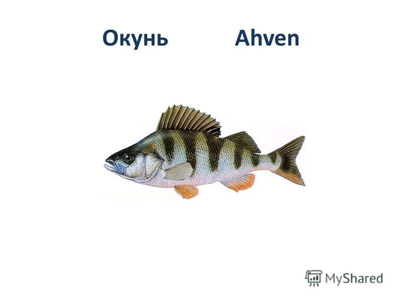 Окунь Ahven