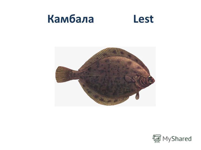 Камбала Lest