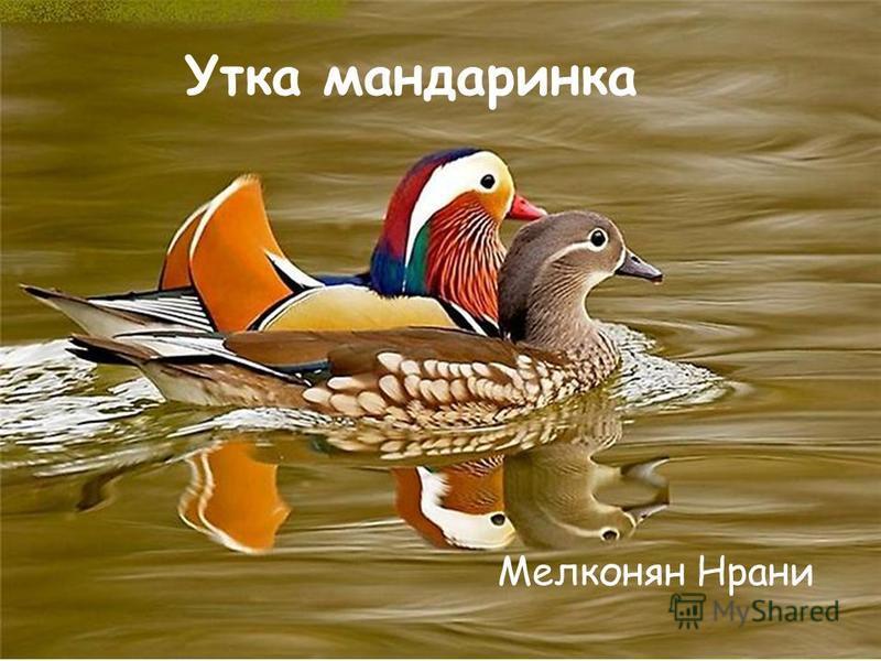 Утка мандаринка Мелконян Нрани