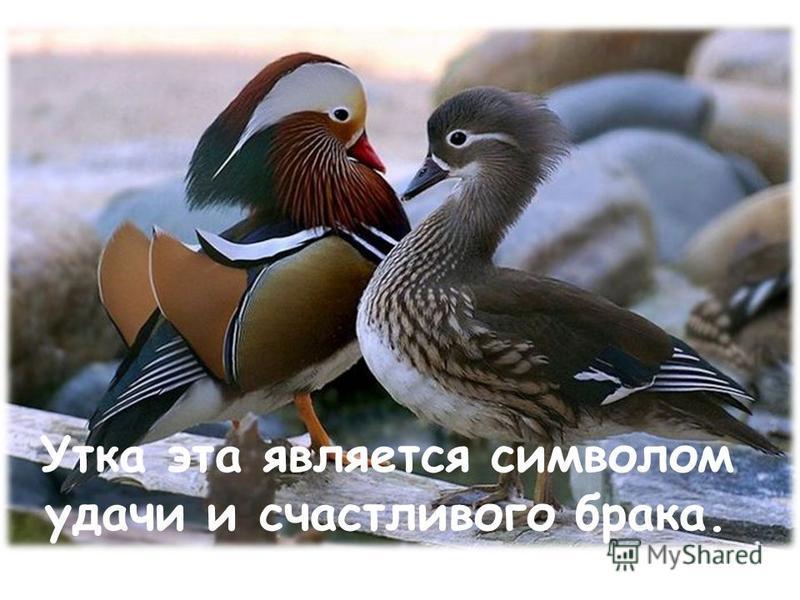 Утка эта является символом удачи и счастливого брака.