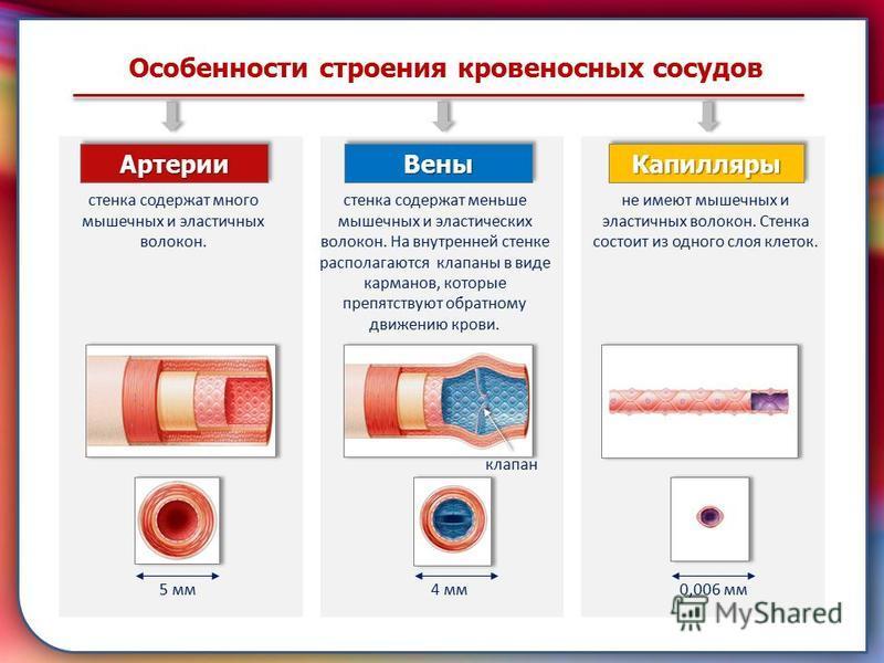 Клапан, образованная складками его внутренней оболочки, обеспечивает однонаправленный ток крови за счет перекрывания венозных и артериальных проходов Особенности строения кровеносных сосудов Артерии АртерииВены Вены Капилляры Капилляры стенка содержа
