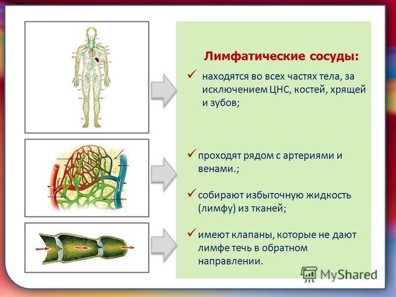 Клапан, образованная складками его внутренней оболочки, обеспечивает однонаправленный ток крови за счет перекрывания венозных и артериальных проходов Лимфатические сосуды: находятся во всех частях тела, за исключением ЦНС, костей, хрящей и зубов; про