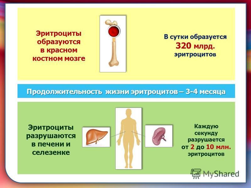 складками его внутренней оболочки, обеспечивает однонаправленный ток крови за счет перекрывания венозных и артериальных проходов. Продолжительность жизни эритроцитов – 3-4 месяца Эритроциты образуются в красном костном мозге В сутки образуется 320 мл