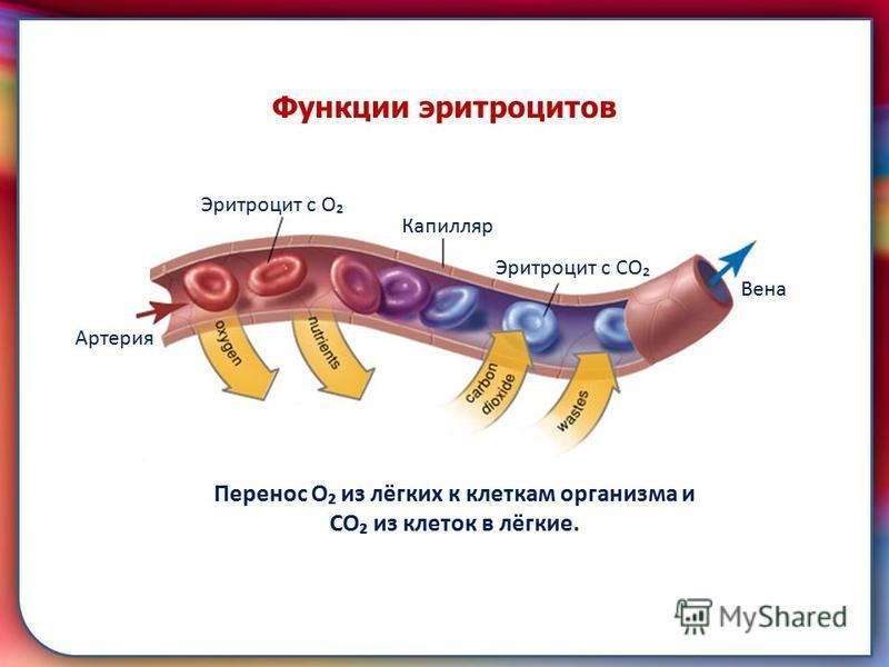 складками его внутренней оболочки, обеспечивает однонаправленный ток крови за счет перекрывания венозных и артериальных проходов. Функции эритроцитов Перенос О из лёгких к клеткам организма и СО из клеток в лёгкие. Артерия Вена Капилляр Эритроцит с О