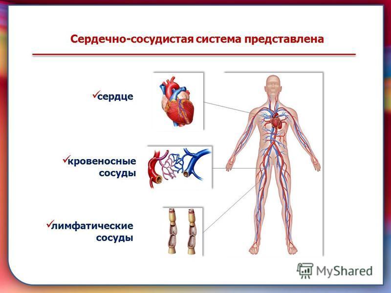 Сердечно-сосудистая система представлена сердце кровеносные сосуды лимфатические сосуды