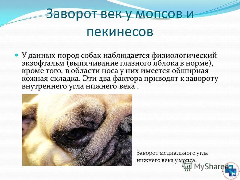 Заворот век у мопсов и пекинесов У данных пород собак наблюдается физиологический экзофтальм (выпячивание глазного яблока в норме), кроме того, в области носа у них имеется обширная кожная складка. Эти два фактора приводят к завороту внутреннего угла