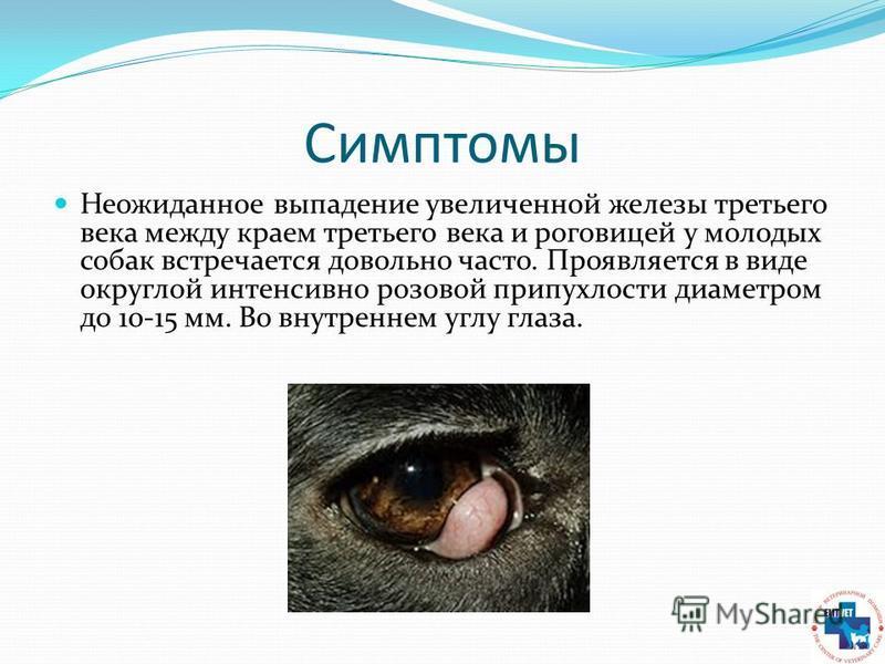 Симптомы Неожиданное выпадение увеличенной железы третьего века между краем третьего века и роговицей у молодых собак встречается довольно часто. Проявляется в виде округлой интенсивно розовой припухлости диаметром до 10-15 мм. Во внутреннем углу гла