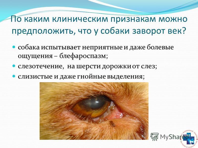 По каким клиническим признакам можно предположить, что у собаки заворот век? собака испытывает неприятные и даже болевые ощущения – блефароспазм; слезотечение, на шерсти дорожки от слез; слизистые и даже гнойные выделения;