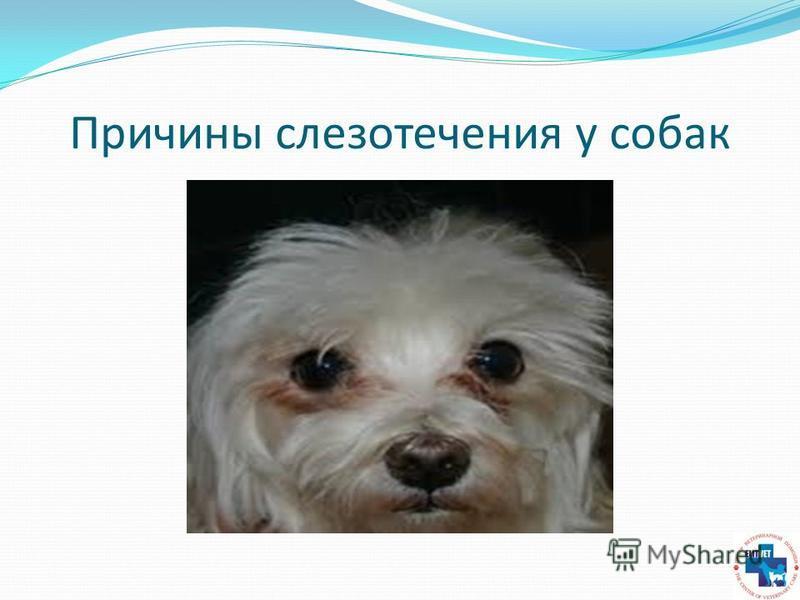Причины слезотечения у собак