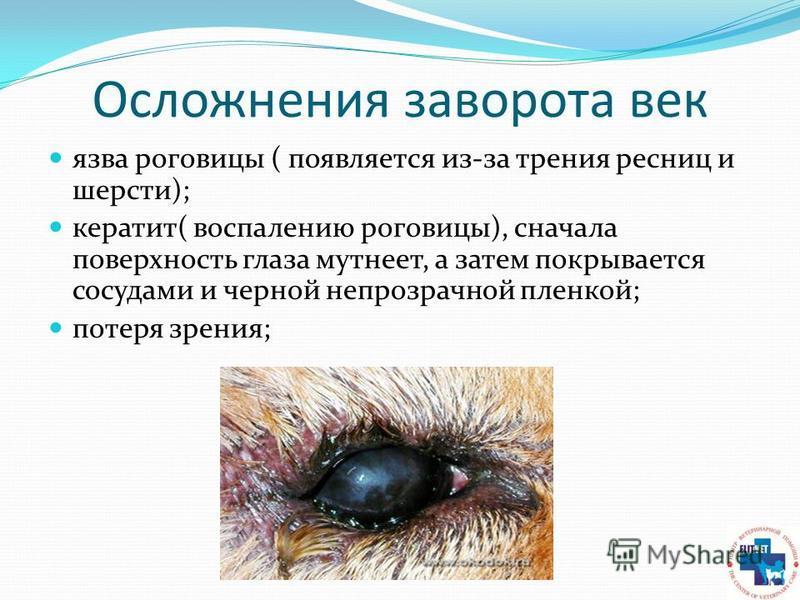 Осложнения заворота век язва роговицы ( появляется из-за трения ресниц и шерсти); кератит( воспалению роговицы), сначала поверхность глаза мутнеет, а затем покрывается сосудами и черной непрозрачной пленкой; потеря зрения;