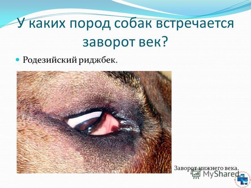 У каких пород собак встречается заворот век? Родезийский риджбек. Заворот нижнего века.