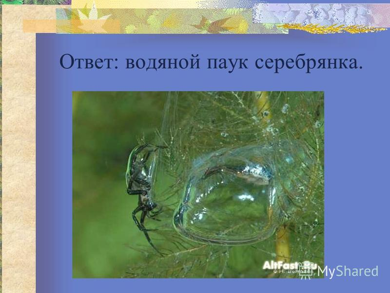 Ответ: водяной паук серебрянка.