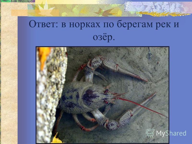 Ответ: в норках по берегам рек и озёр.