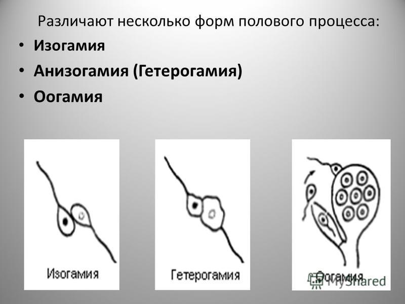 Различают несколько форм полового процесса: Изогамия Анизогамия (Гетерогамия) Оогамия