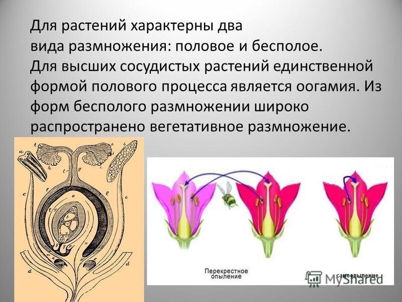Для растений характерны два вида размножения: половое и бесполое. Для высших сосудистых растений единственной формой полового процесса является оогамия. Из форм бесполого размножении широко распространено вегетативное размножение.