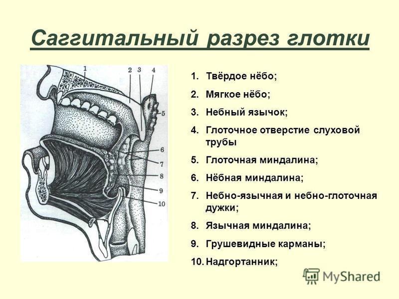 Саггитальный разрез глотки 1.Твёрдое нёбо; 2. Мягкое нёбо; 3. Небный язычок; 4. Глоточное отверстие слуховой трубы 5. Глоточная миндалина; 6.Нёбная миндалина; 7.Небно-язычная и небно-глоточная дужки; 8. Язычная миндалина; 9. Грушевидные карманы; 10.Н