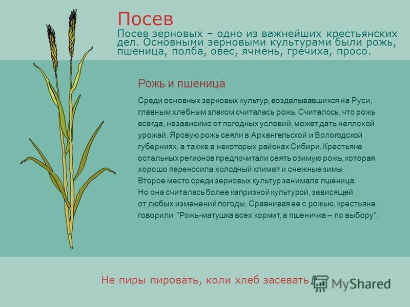Рожь и пшеница Среди основных зерновых культур, возделывавшихся на Руси, главным хлебным злаком считалась рожь. Считалось, что рожь всегда, независимо от погодных условий, может дать неплохой урожай. Яровую рожь сеяли в Архангельской и Вологодской гу
