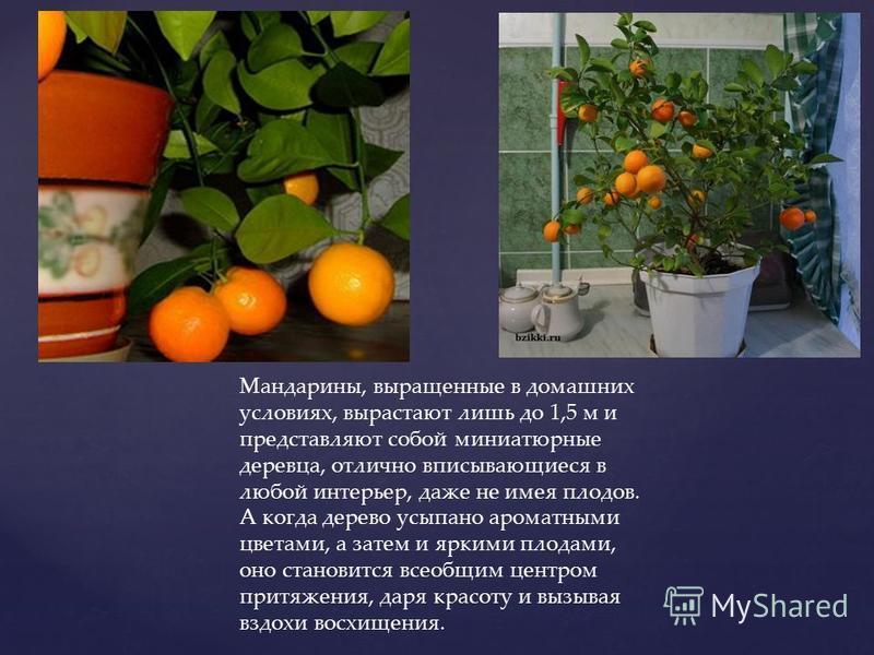 Мандарины, выращенные в домашних условиях, вырастают лишь до 1,5 м и представляют собой миниатюрные деревца, отлично вписывающиеся в любой интерьер, даже не имея плодов. А когда дерево усыпано ароматными цветами, а затем и яркими плодами, оно станови