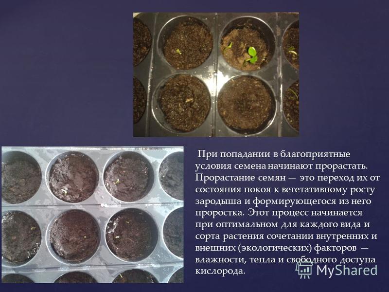 При попадании в благоприятные условия семена начинают прорастать. Прорастание семян это переход их от состояния покоя к вегетативному росту зародыша и формирующегося из него проростка. Этот процесс начинается при оптимальном для каждого вида и сорта