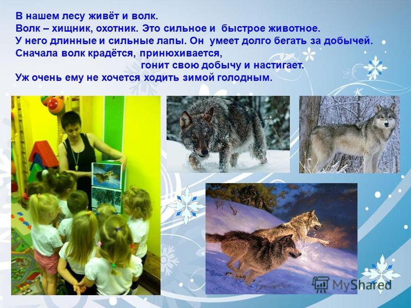 В нашем лесу живёт и волк. Волк – хищник, охотник. Это сильное и быстрое животное. У него длинные и сильные лапы. Он умеет долго бегать за добычей. Сначала волк крадётся, принюхивается, гонит свою добычу и настигает. Уж очень ему не хочется ходить зи