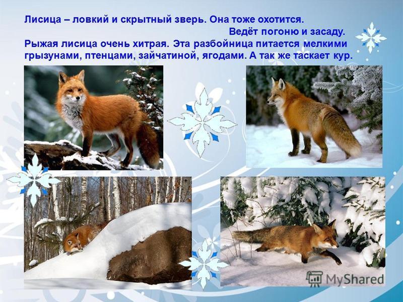 Лисица – ловкий и скрытный зверь. Она тоже охотится. Ведёт погоню и засаду. Рыжая лисица очень хитрая. Эта разбойница питается мелкими грызунами, птенцами, зайчатиной, ягодами. А так же таскает кур.