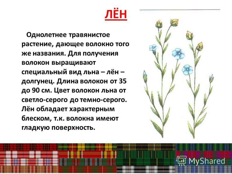 ЛЁН Однолетнее травянистое растение, дающее волокно того же названия. Для получения волокон выращивают специальный вид льна – лён – долгунец. Длина волокон от 35 до 90 см. Цвет волокон льна от светло-серого до темно-серого. Лён обладает характерным б