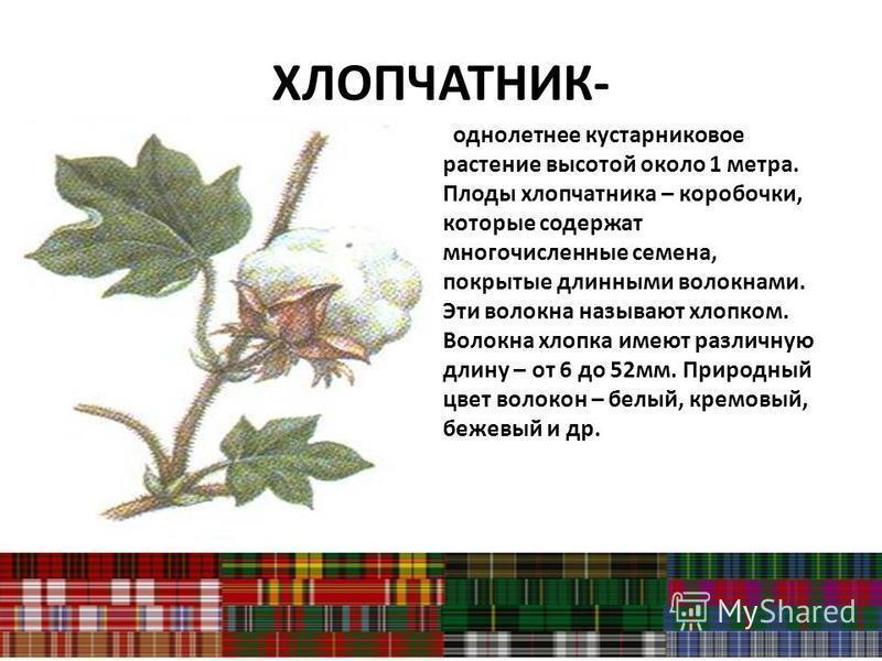 ХЛОПЧАТНИК- однолетнее кустарниковое растение высотой около 1 метра. Плоды хлопчатника – коробочки, которые содержат многочисленные семена, покрытые длинными волокнами. Эти волокна называют хлопком. Волокна хлопка имеют различную длину – от 6 до 52 м