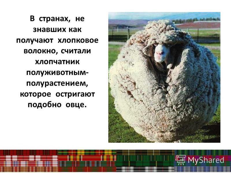 В странах, не знавших как получают хлопковое волокно, считали хлопчатник полу животным- полу растением, которое остригают подобно овце.