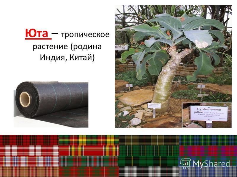 Юта – тропическое растение (родина Индия, Китай)