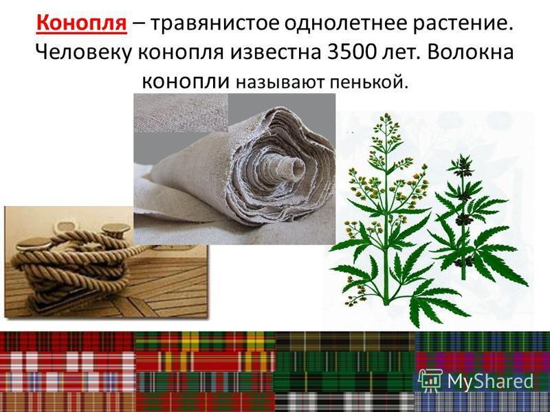 Конопля – травянистое однолетнее растение. Человеку конопля известна 3500 лет. Волокна конопли называют пенькой.