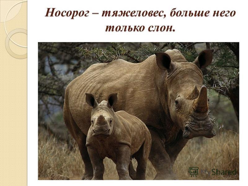 Носорог – тяжеловес, больше него только слон.