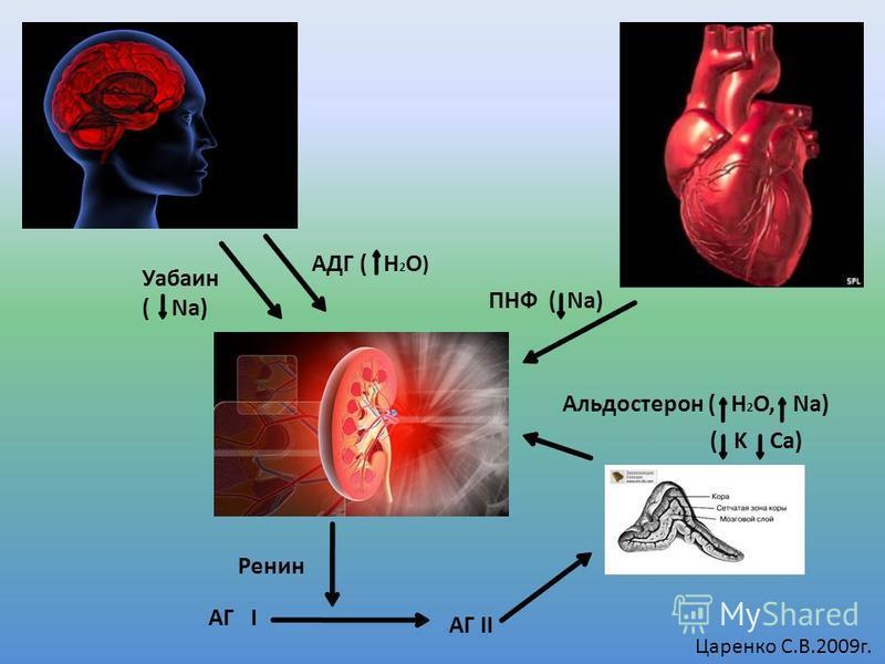 АДГ ( H 2 O ) ПНФ ( Na) Альдостерон ( H 2 O, Na) Уабаин ( Na) Ренин АГ I АГ II Царенко С.В.2009 г. ( K Ca)