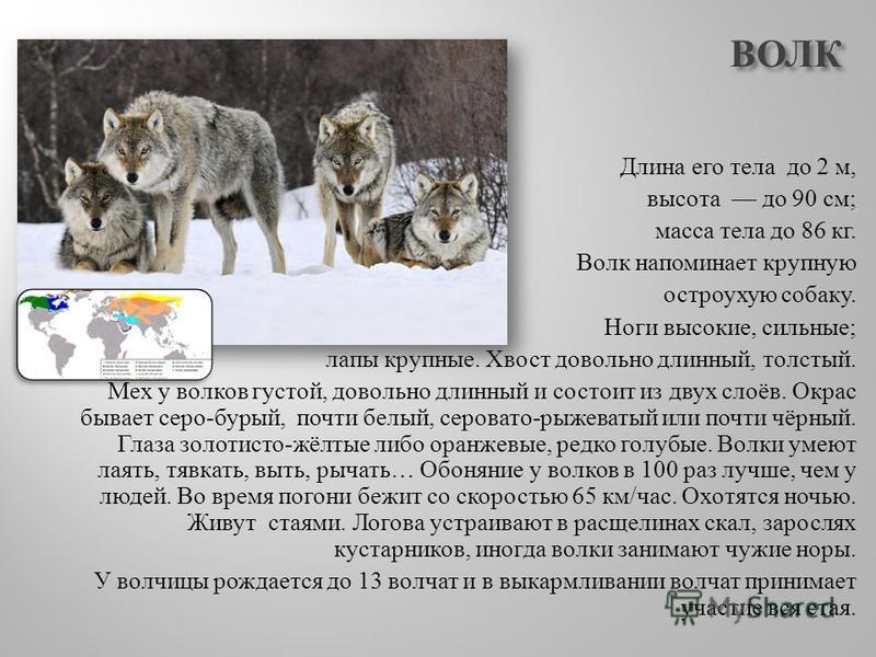 ВОЛК Длина его тела до 2 м, высота до 90 см ; масса тела до 86 кг. Волк напоминает крупную остроухую собаку. Ноги высокие, сильные ; лапы крупные. Хвост довольно длинный, толстый. Мех у волков густой, довольно длинный и состоит из двух слоёв. Окрас б